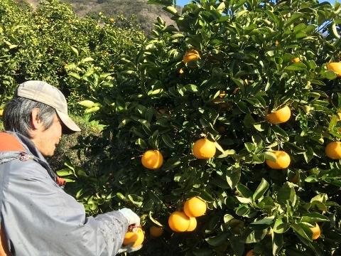 八朔収穫の様子(AKIRA)