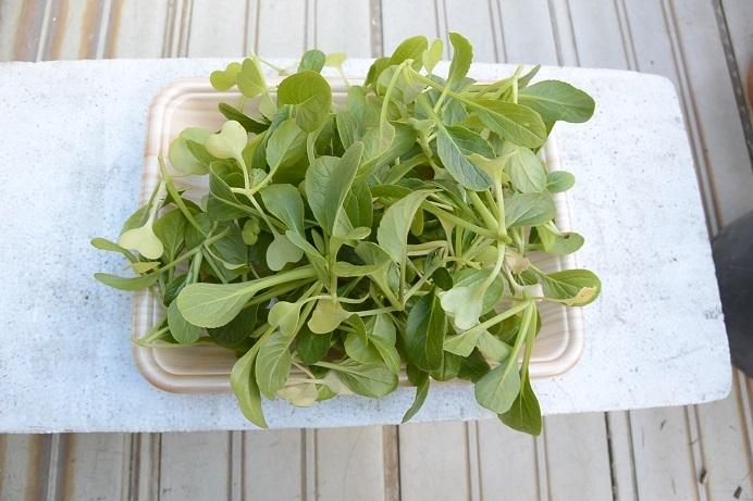 小松菜間引き苗収穫
