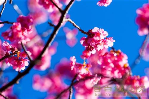 20170115早咲き桜1