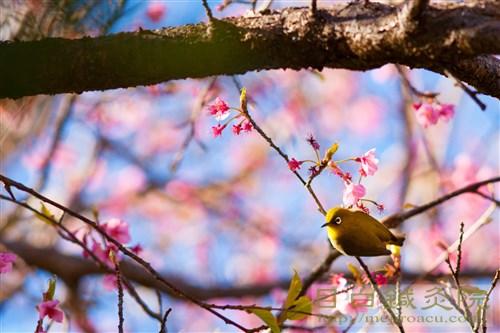 20170115早咲き桜メジロ2