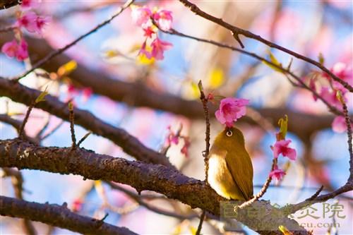 20170115早咲き桜メジロ3