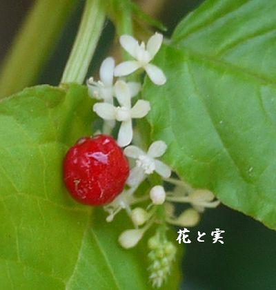 img20141105204137433ジュジュサンゴ花とみ