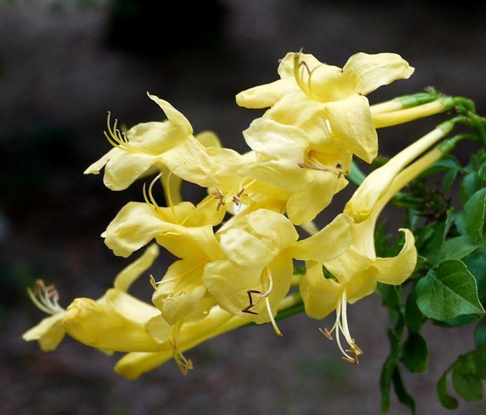 700-598黄色ヒメノウゼンカズラ