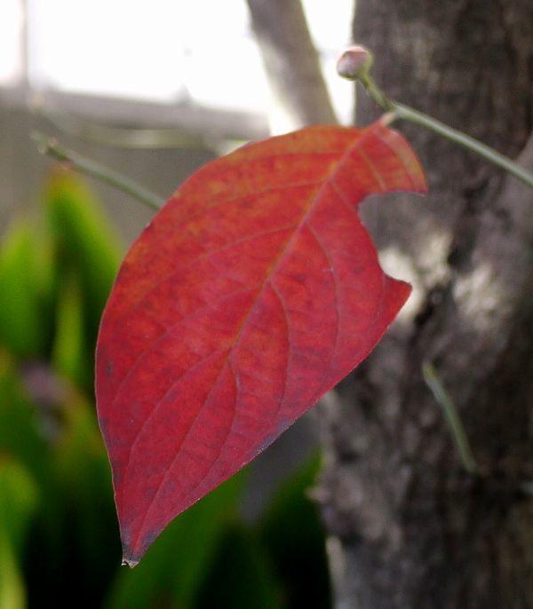 600-686花水木紅葉
