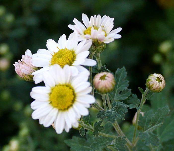 700白小菊