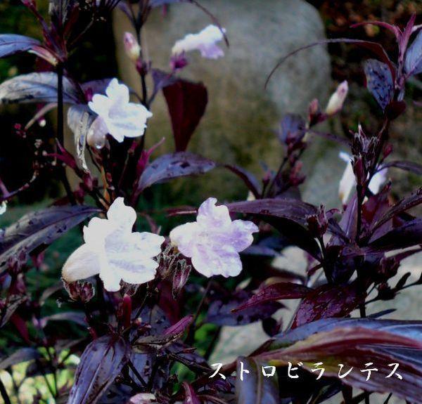 633-633-639ストロビランテス庭井