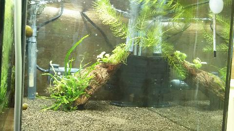 ④水槽1ヶ月