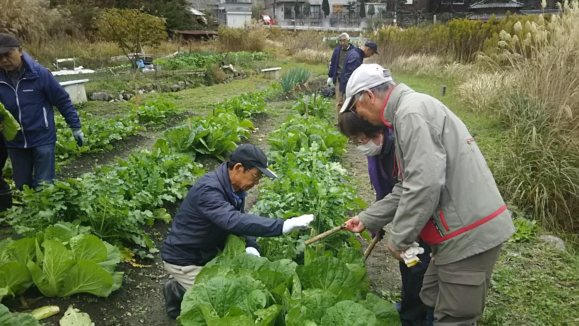 ハクサイ収穫2