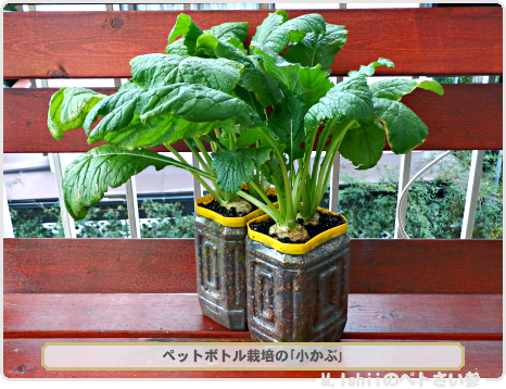 ペット野菜五天王04