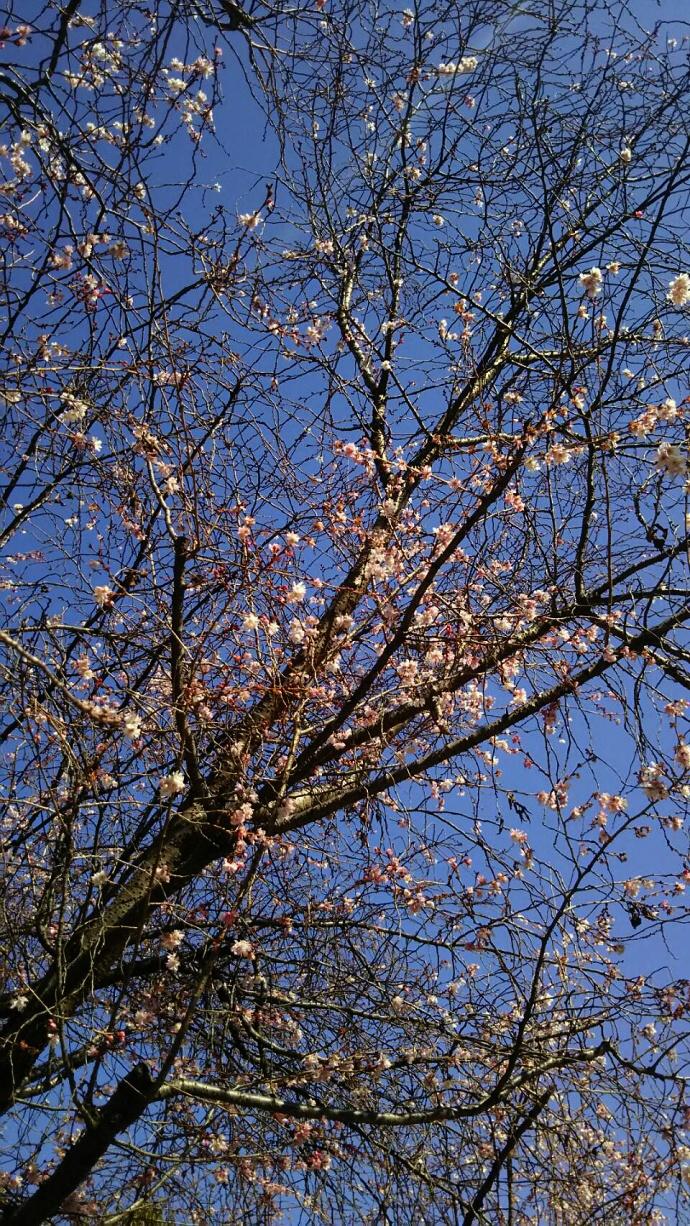 170204桜