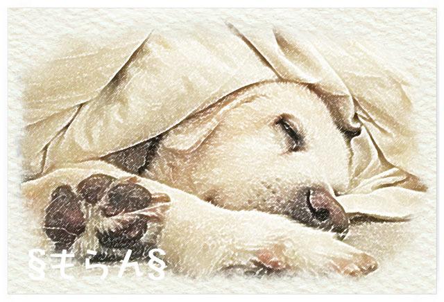 161124 犬は布団で丸くなる-1