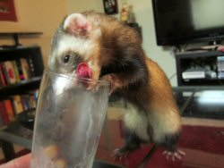 1a 250 ferret is drinking milk