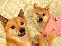 モデル犬abby