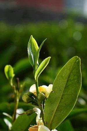 鳳凰単欉茶花