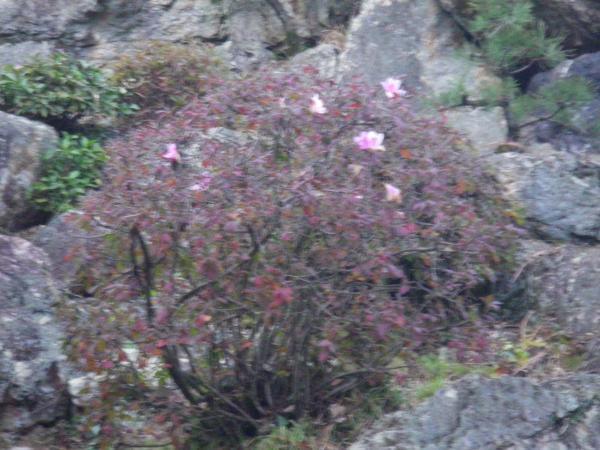 季節外れのつつじの花