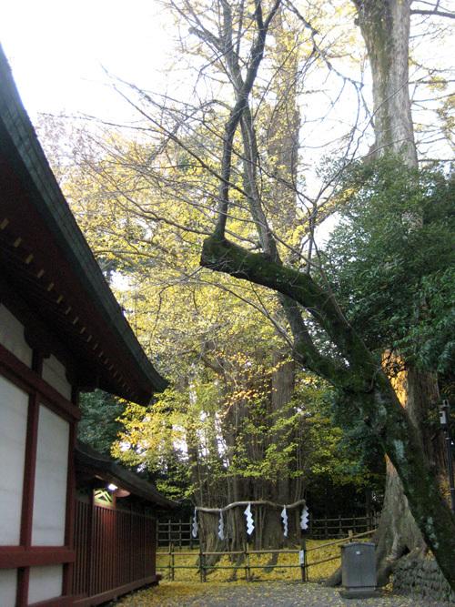 大国魂神社の大銀杏01