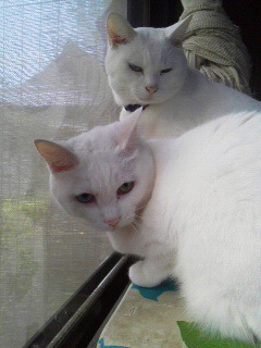 七五三白猫組