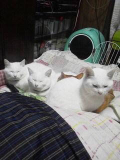 白猫トリオ1