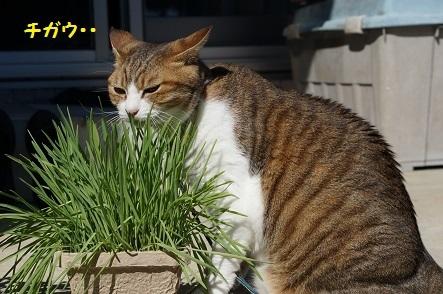 葉っぱじゃないよ 猫草だよ