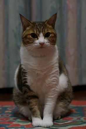 折り目正しい猫です