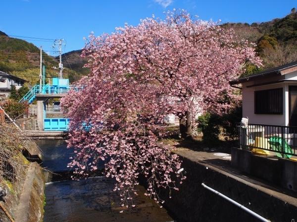 2017河津桜(13)