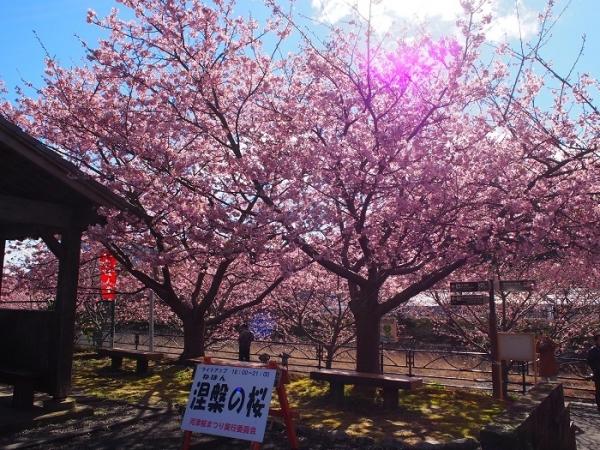 2017河津桜(18)