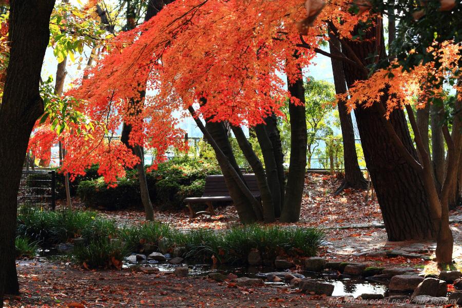 紅葉1@昆陽池公園