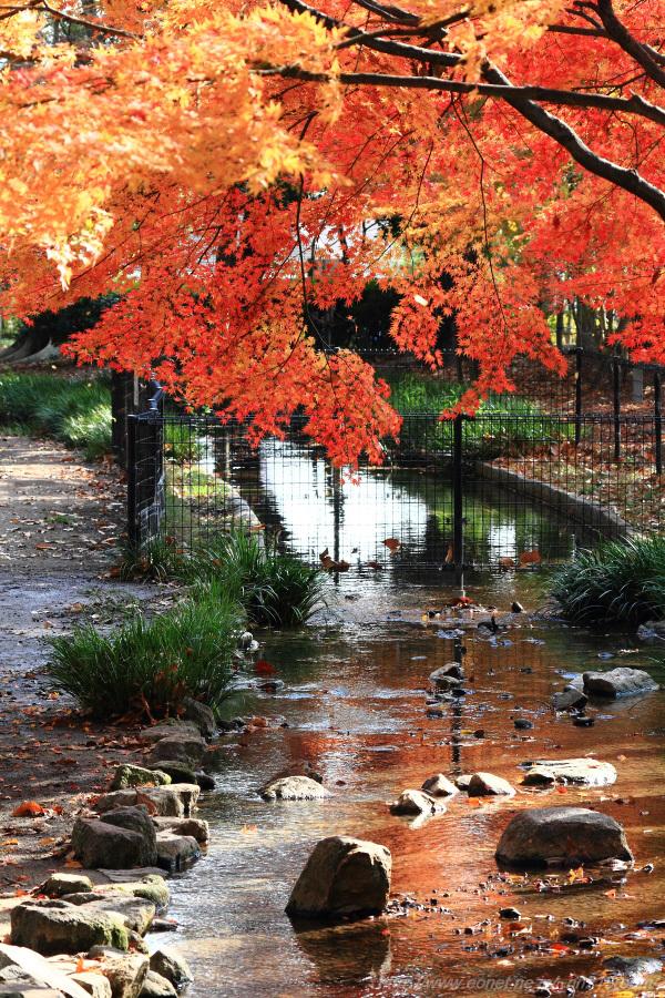 紅葉2@昆陽池公園