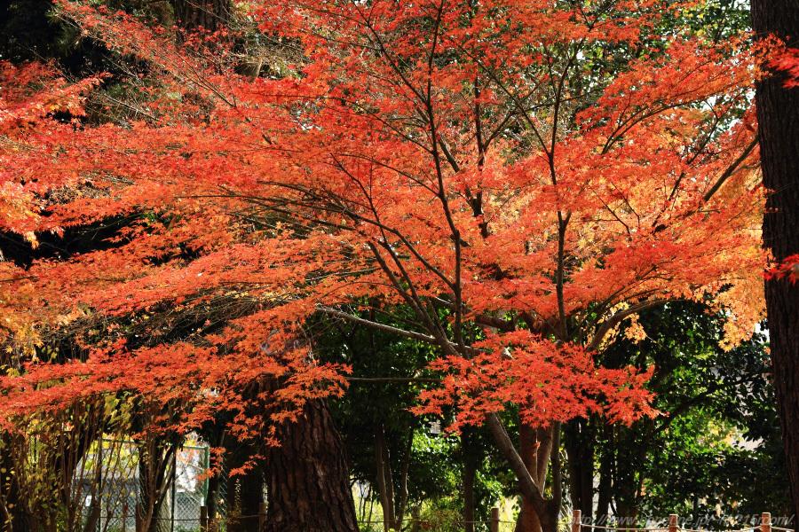 紅葉3@昆陽池公園