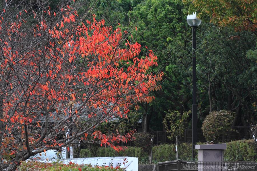 下河原緑地駐車場の桜紅葉@エアフロントオアシス下河原沿道