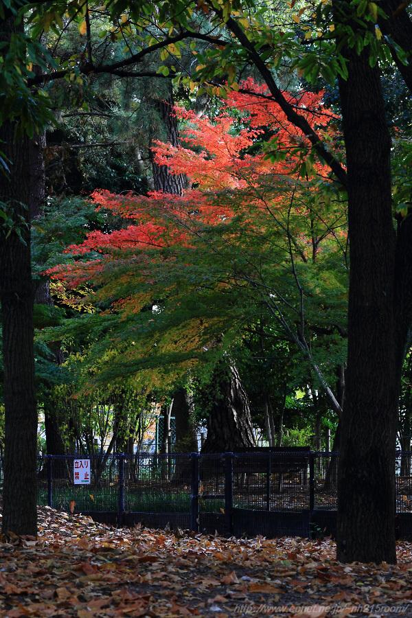 昆陽池公園の紅葉3@中央広場付近