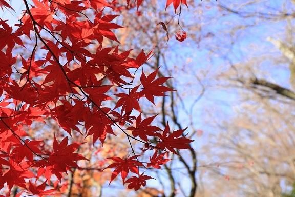 2016 12 18 大山崎山荘 紅葉 紅葉.jpg