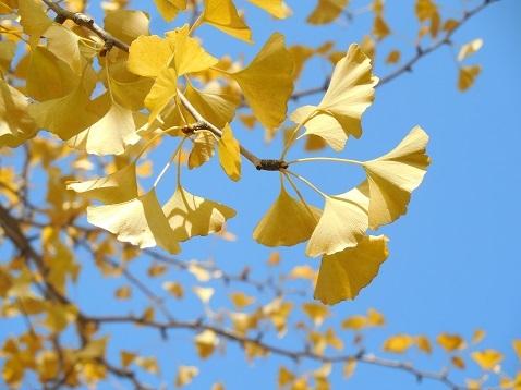 通りすがりに見かけた黄葉