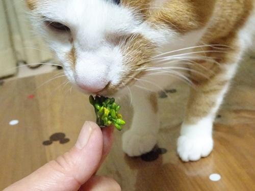 あられ、コウタイサイを食す