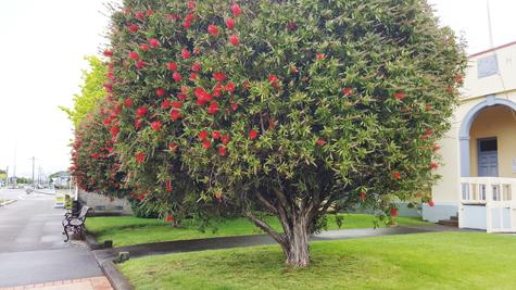 ニュージーランドのクリスマスの木「ポフツカワ」02