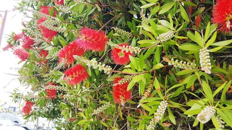 ニュージーランドのクリスマスの木「ポフツカワ」03