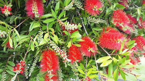 ニュージーランドのクリスマスの木「ポフツカワ」04