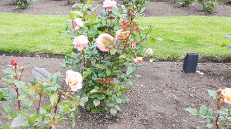 ニュージーランド、薔薇の町Feilding06