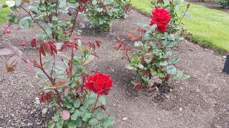 ニュージーランド、薔薇の町Feilding08