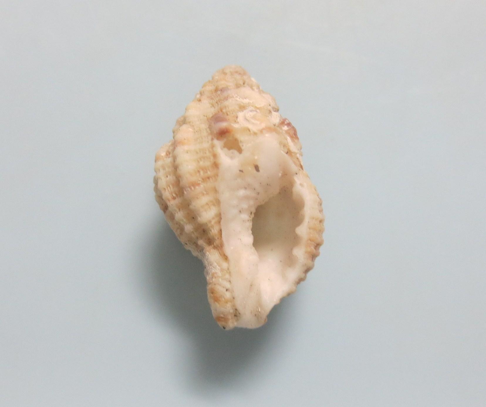 ダルマヒサゴホラダマシ
