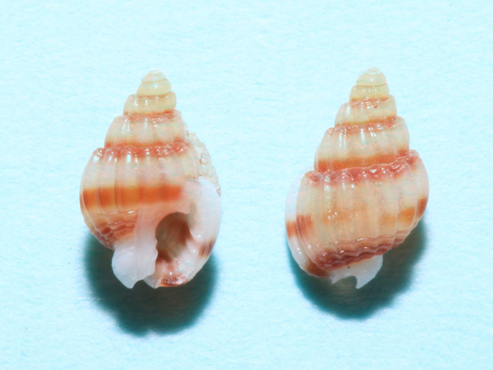 ミゴモリヒメムシロ