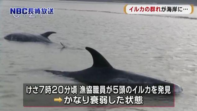 【前触れ】長崎県五島市の浜辺に「イルカ」5頭が打ち上げられているのが見つかる!