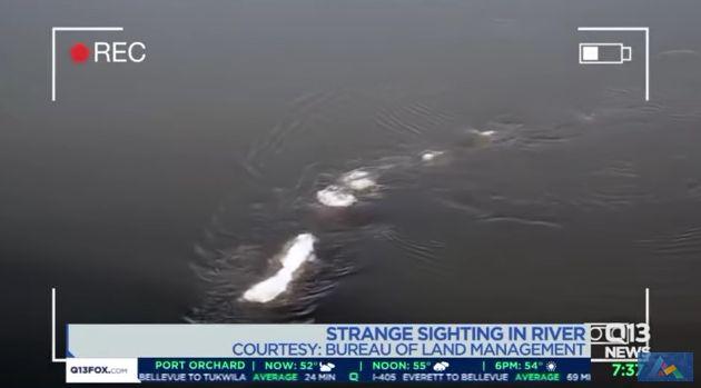 【UMA】アラスカの川に正体不明の巨大生物が出現…シーサーペントが泳ぐ姿が捉えられる!