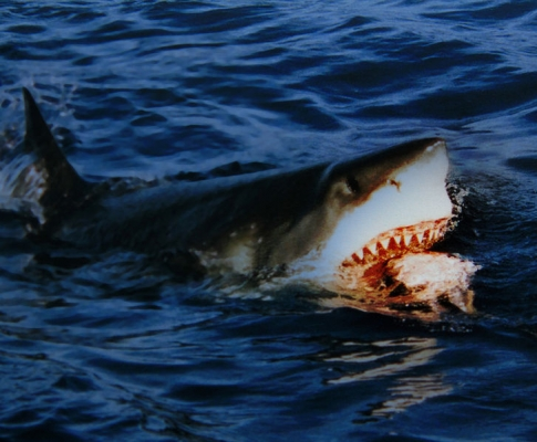 727px-Great_white_shark_is_going_for_a_bait.jpg
