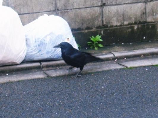 Crow787885755123.jpg
