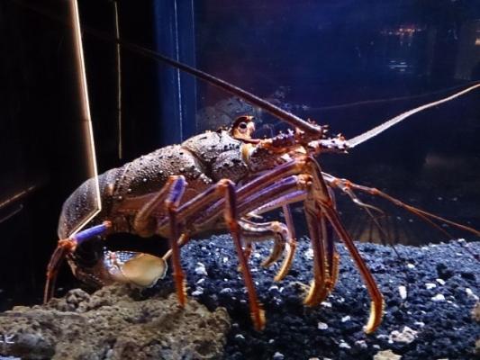 lobster54354364.jpg