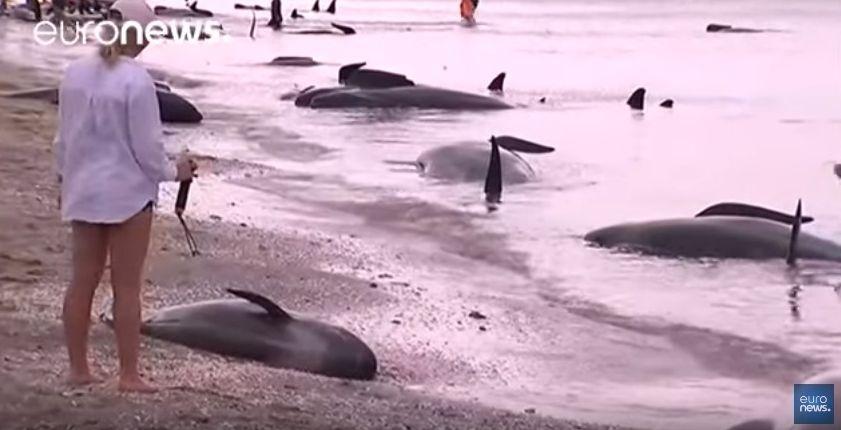 【前触れ】ニュージーランドで「クジラ・416頭」が打ち上げられる…同国で記録がある中では過去最大規模の打ち上げ
