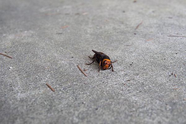 冬のスズメバチ