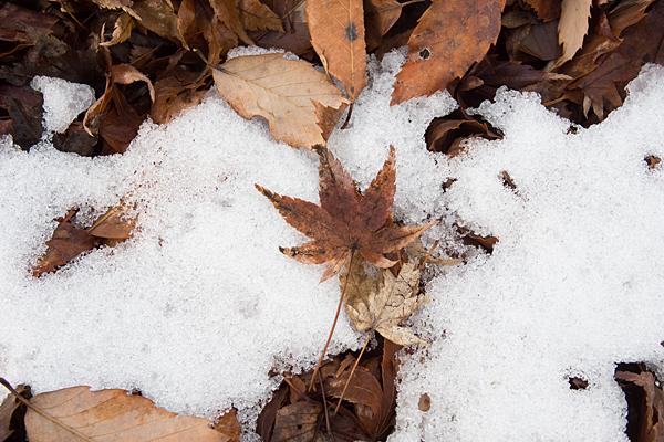 残雪とモミジの枯れ葉
