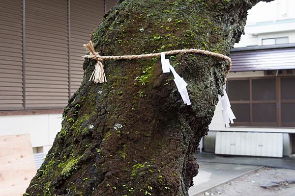 深島神社ご神木の桜